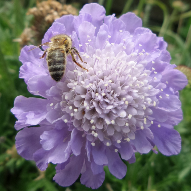 #bee #flower #bloom #Scabiosa