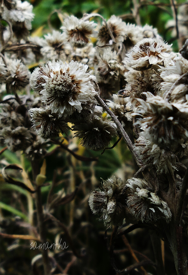 #nature #photography #flower #garden #dried #dramaeffect