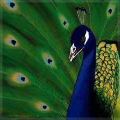 wdpeyes eyes colorful cute peacock