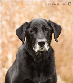 blacklab canine dog portrait
