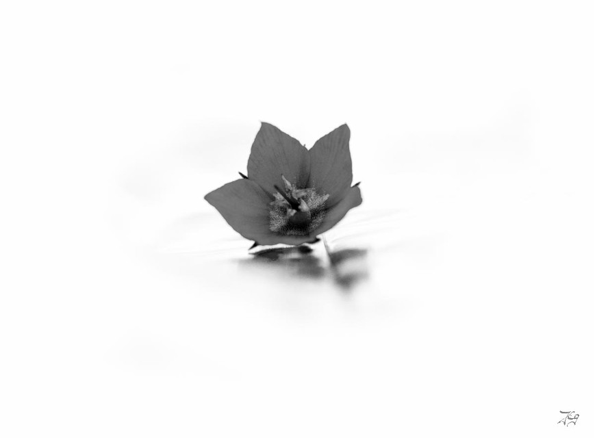 #blackandwhite #flower