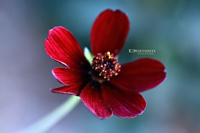 Flowers | #doumam #photography #fleurs  #red #rouge #macrophotography #macro #picoftheday #photooftheday #photo #nature #flower