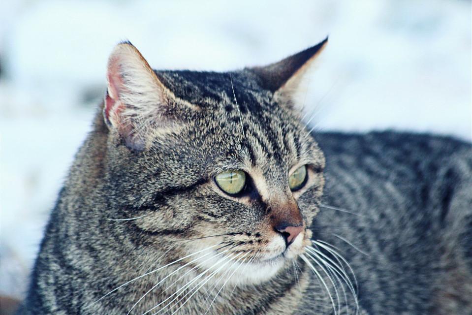Cat #freetoedit  #crisp