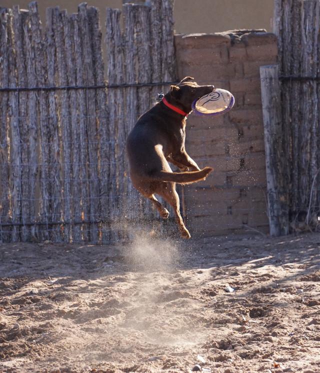Frizbee dog