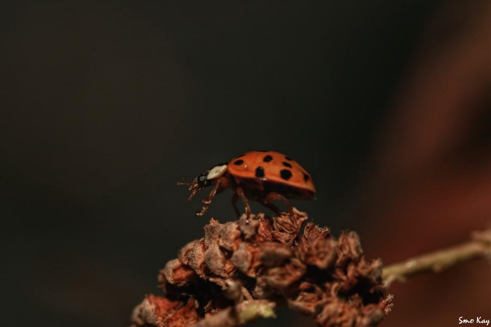 #ladybird #photography #nature #petsandanimals #animals #macro #closeup #bug #colorful #cute