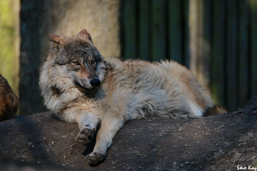 Einen schönen guten Morgen wünsche ich euch 🙋 I wish you a good morning my friends🙋  #wolf #photography #nature #petsandanimals  #animals #zoo #wildlife #grey