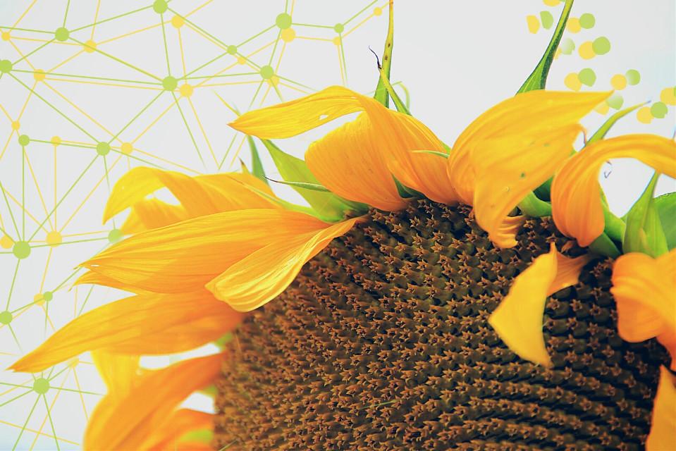 #photography  #nature  #sunflower