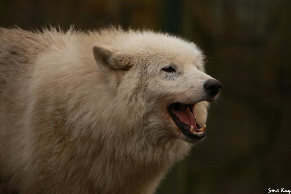 #wolf #photography #nature #petsandanimals #animals #zoo #white #wildlife