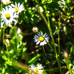 daisys natura mamanonmama flowers scampagnata