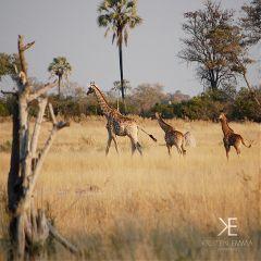 africa giraffes okavangodelta botswana photography