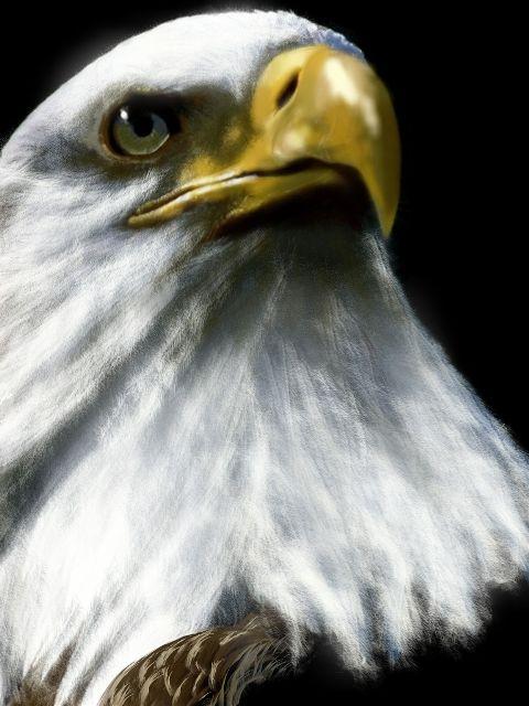 wdpzooanimals eagle drawing animal nature dcbird