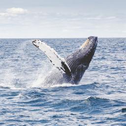 freetoedit water sea whale swim